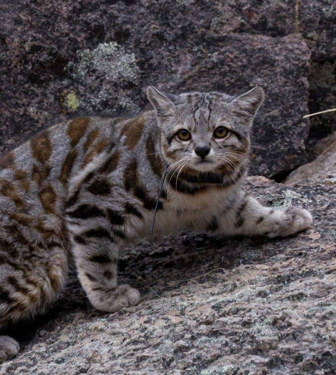 Все что необходимо знать о европейских лесных котах: среда обитания и описание