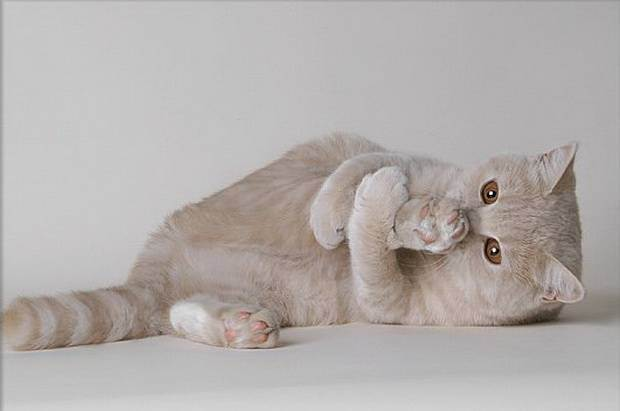 Стерилизация шотландских кошек