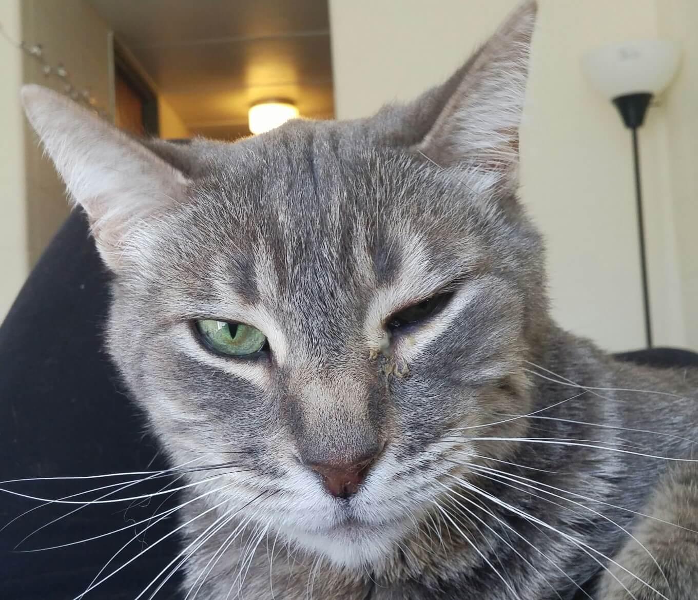 Опухла челюсть у кота - наиболее распространенные причины