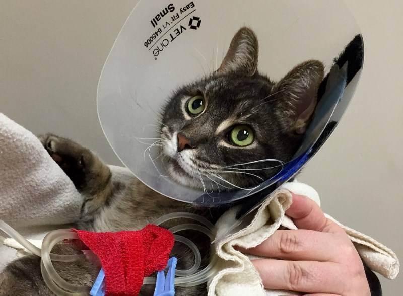 Воротник после кастрации кота: сколько носить, зачем нужен