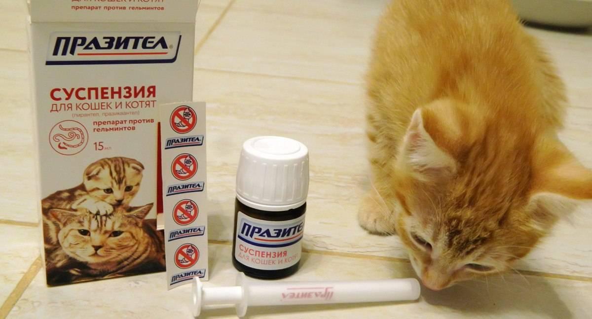 Лечение глистов у кошек в домашних условиях, препараты, симптомы, народными средствами