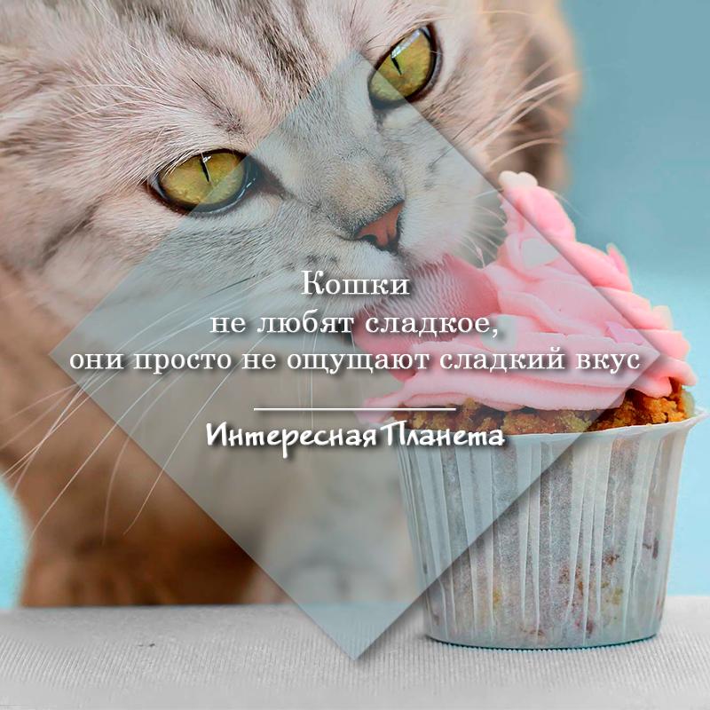 Почему кошкам нельзя есть сладости и шоколад?