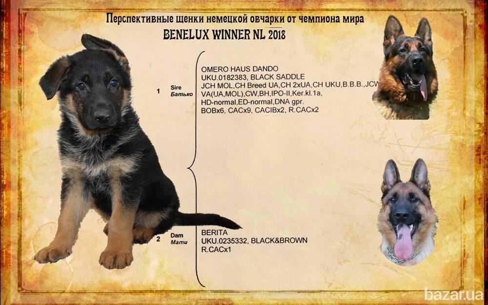Как растет щенок немецкой овчарки? состояние щенка, его лап, ушей и зубов. параметры роста и веса в зависимости от возраста.
