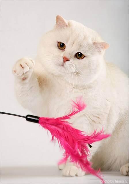 Фото красивых окрасов британских кошек