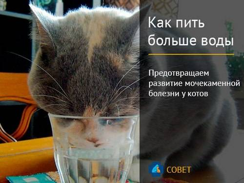 Кот много пьет — причины полидипсии} - oozoo.ru