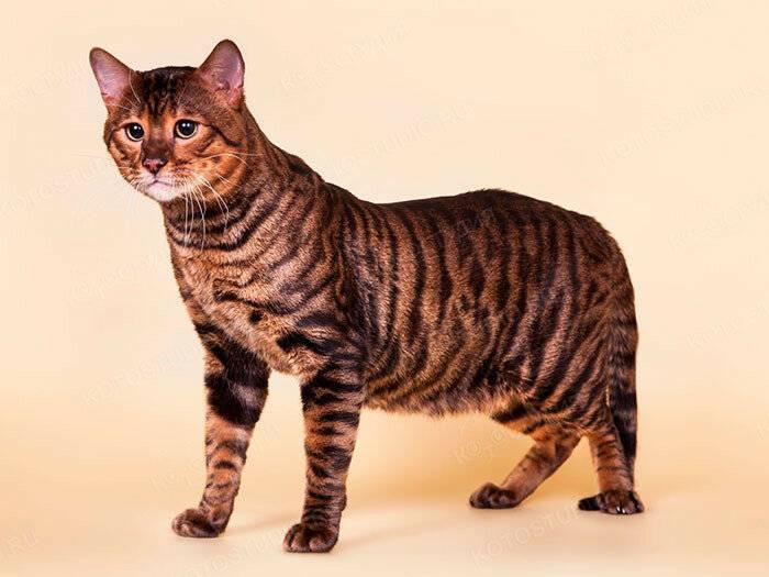 Тойгер — домашний тигрёнок