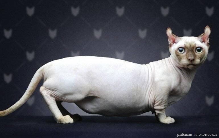 Какие есть самые агрессивные породы кошек в мире