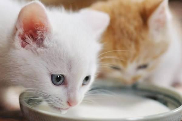 Можно ли давать кошке молоко
