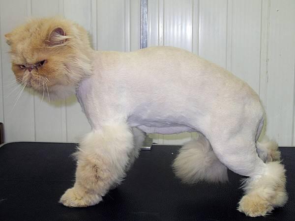 Подстричь британскую кошку, груминг, стрижка британских котов!