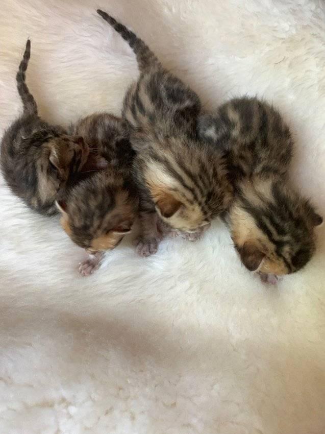 Когда котята открывают глаза и что они в состоянии видеть