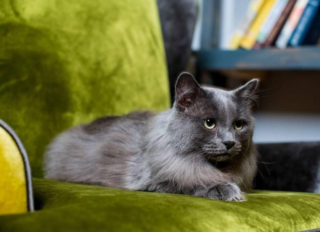 Нибелунг: особенности кошки, характер и нюансы воспитания (видео + 115 фото)