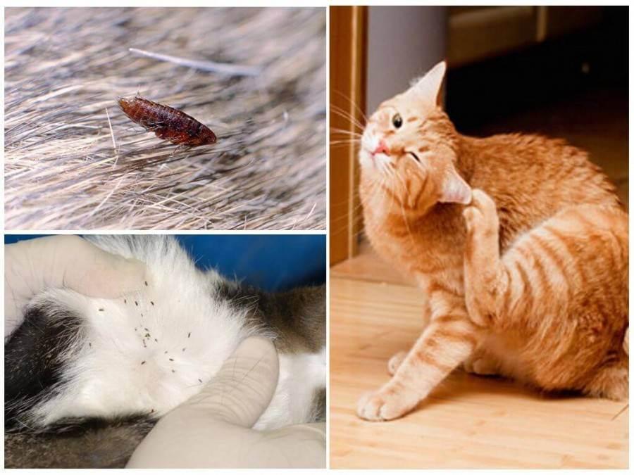 Как вывести блох у котенка в домашних условиях: капли, шампуни, ошейник или народные средства