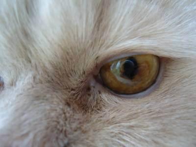 У кошки бельмо на глазу: что делать, лечение