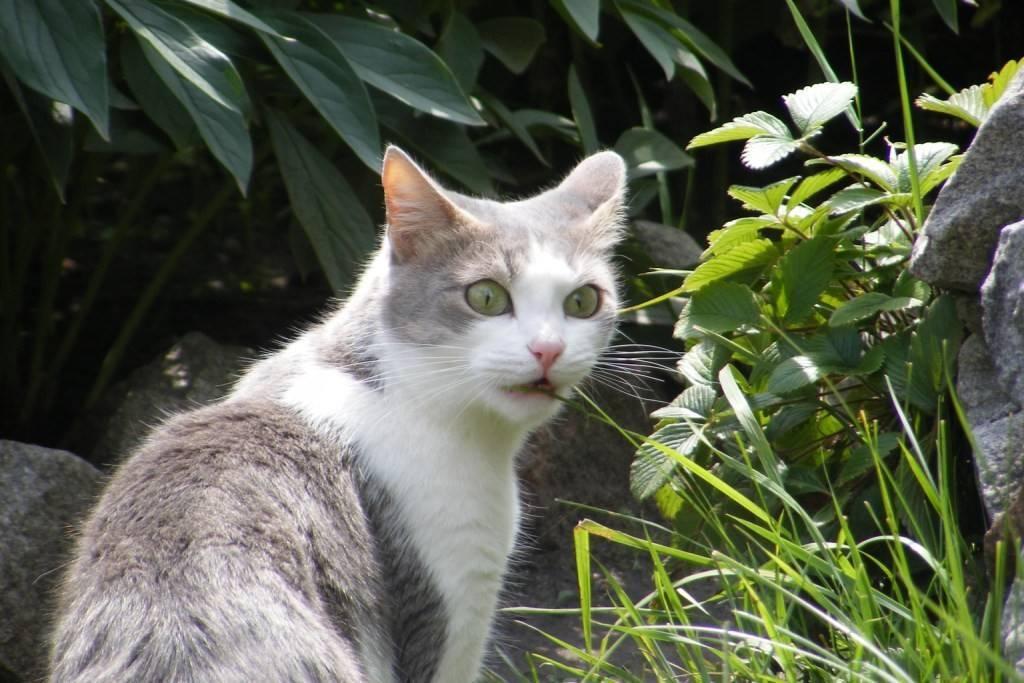 Рвота у кошки после еды - причины и лечение