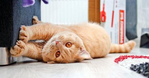 Что делать если кошка не подпускает кота во время течки