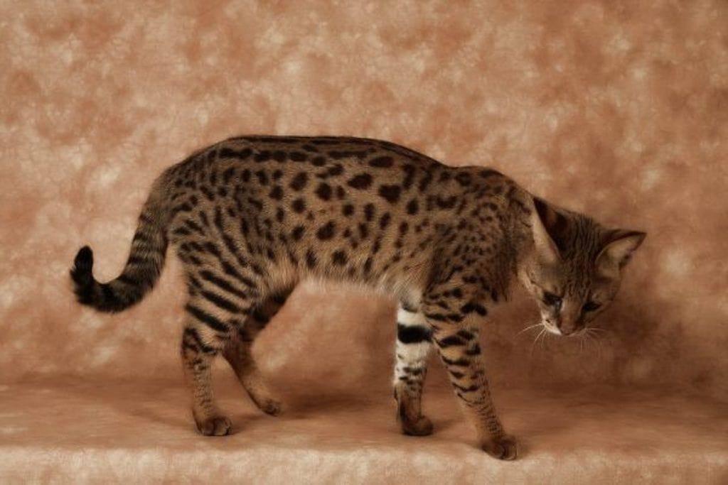 Серенгети (домашняя кошка с «диким» окрасом)
