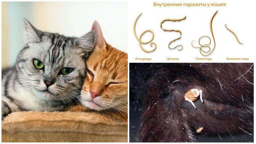Глисты у кошек: фото и названия