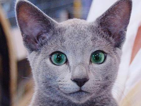 Выставки домашних беспородных кошек