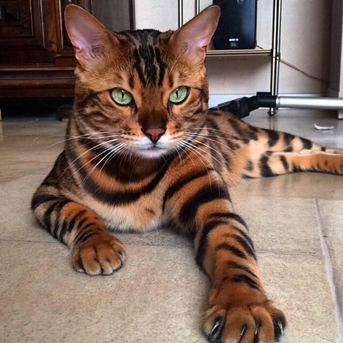 Какие породы кошек считаются самыми красивыми