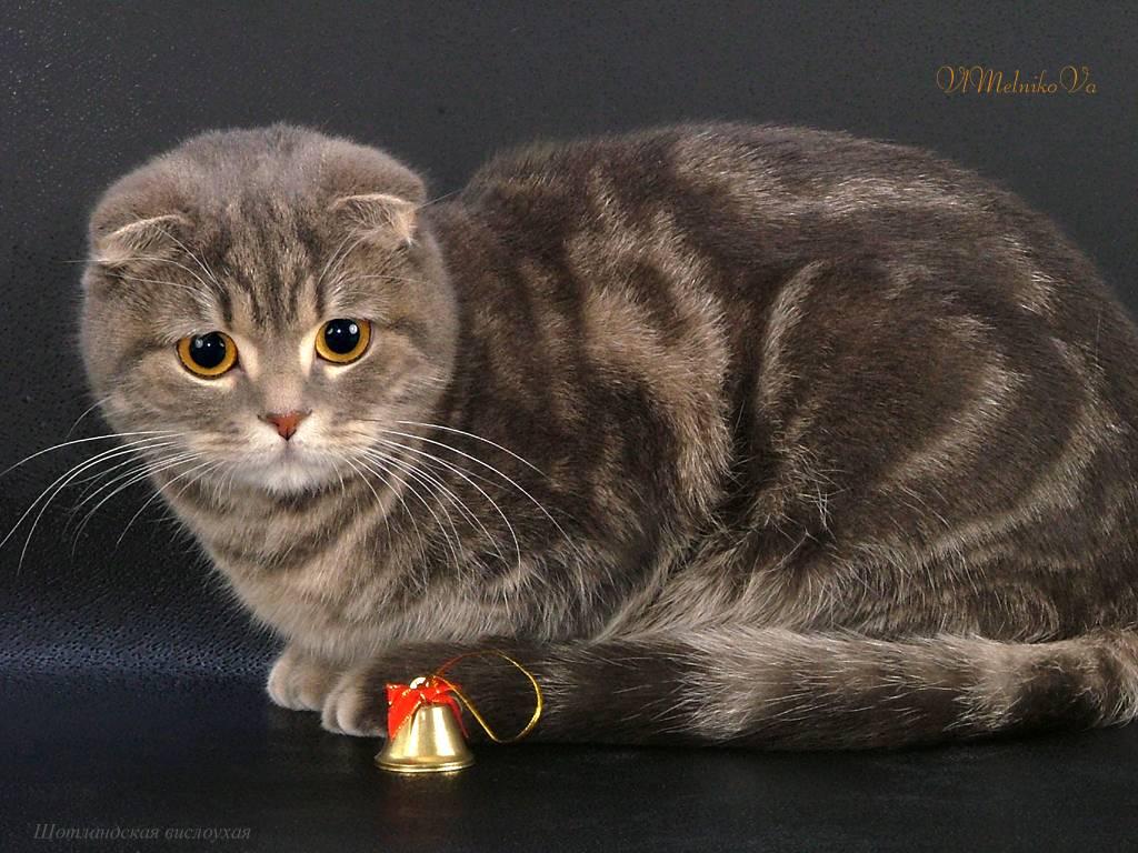 Белый вислоухий котенок (25 фото): особенности шотландских кошек и котят белого цвета с голубыми глазами, их содержание