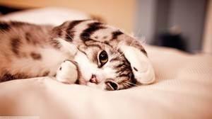 Почему у кота висит «курдюк»: причины отвисания кожи на животе у кошек шотландской, британской и других пород