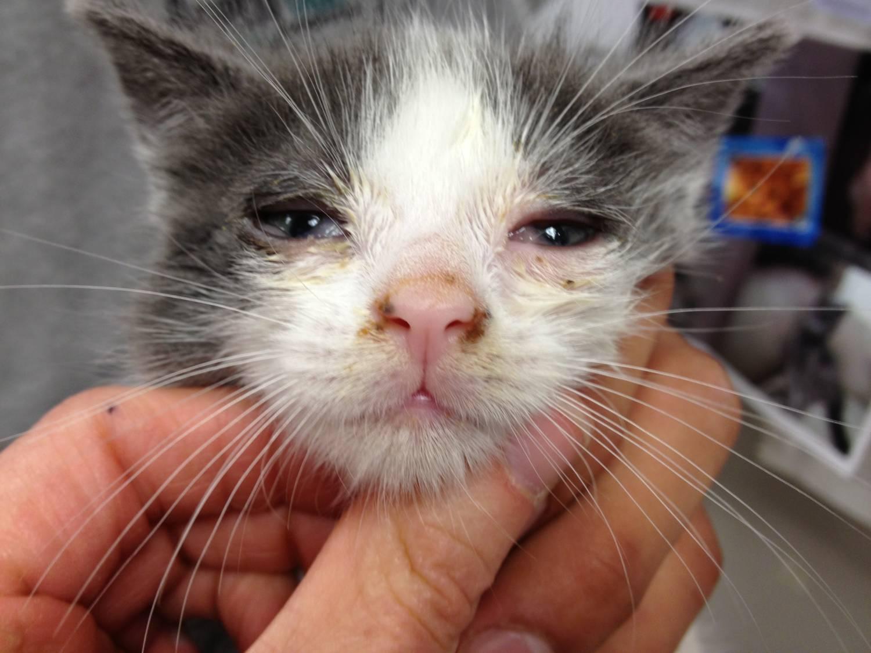 Обзор популярных капель в нос для кошек