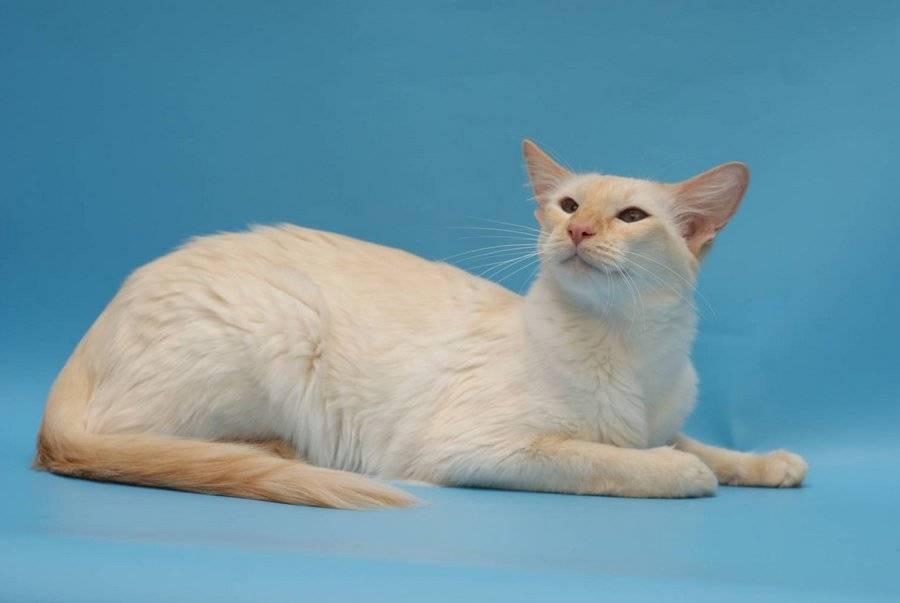 Яванская кошка — описание породы и характер кошки