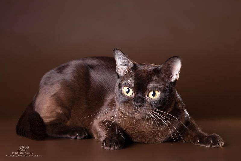 Йоркская шоколадная кошка: все оттенки шоколада
