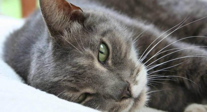 Липидоз печени у кошек (лечение и симптомы)