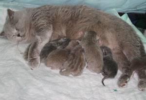 Как лечить эклампсию у кошек после родов?