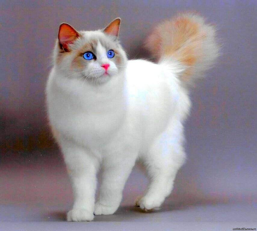 Рэгдолл кошка. описание, особенности, цена и уход за кошкой регдолл   животный мир