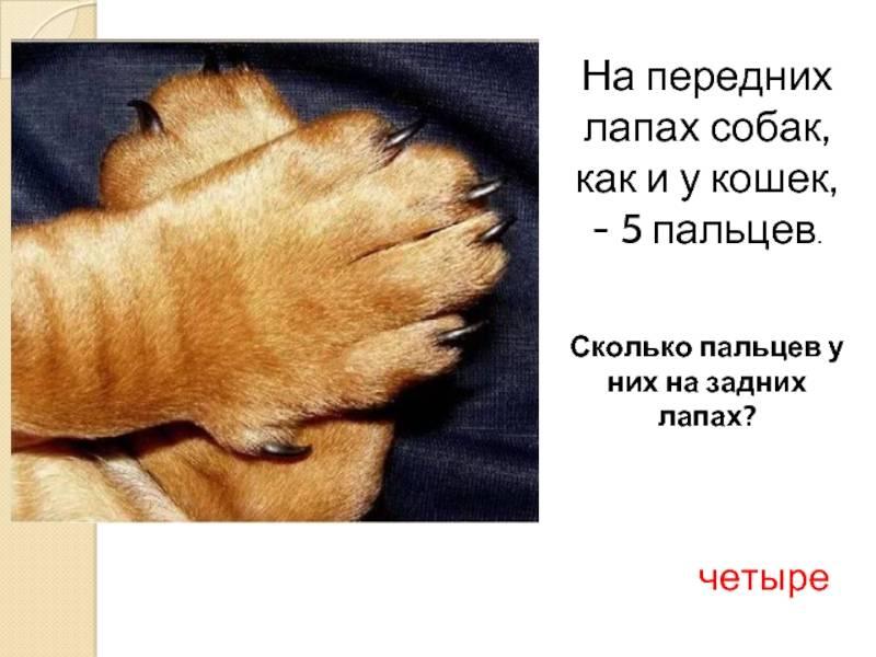 Когти у кошки: строение, как ухаживать, функции