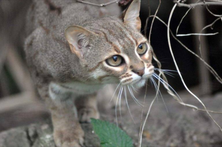 15 необычных видов кошек, о которых вы не знали :: инфониак