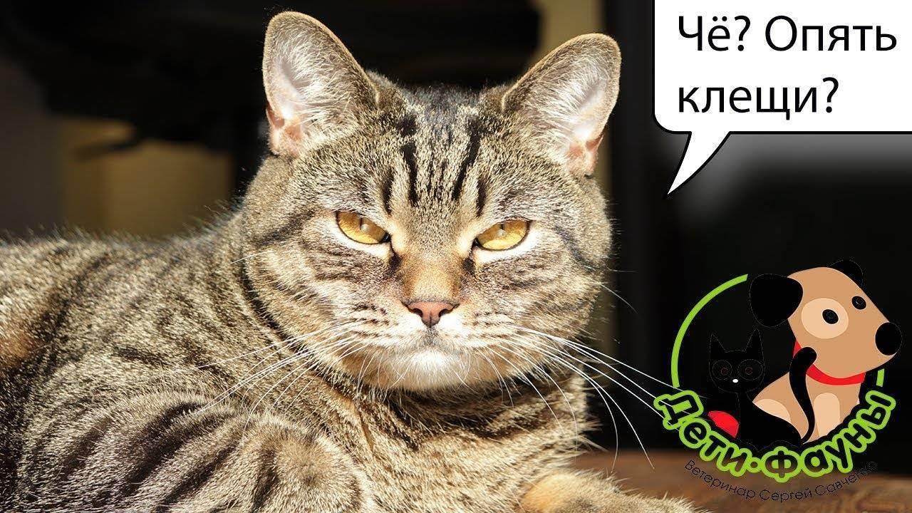 Кошку укусил клещ — как помочь питомцу?