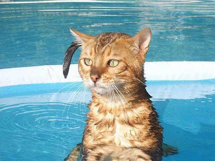 Как спасти кошку от летней жары - wikihow
