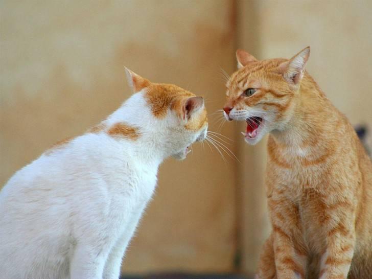 Котики против песиков: почему кошка шипит на собаку?