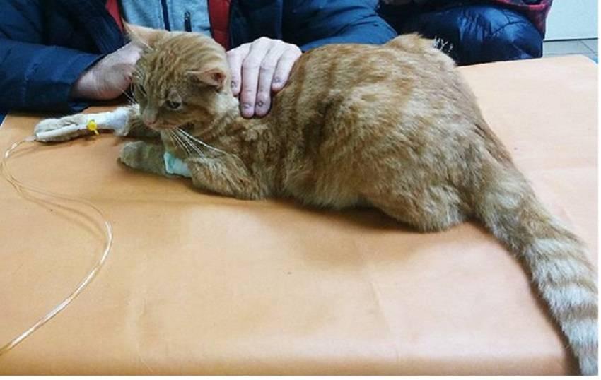Лейкемия у кошек и котов: лечение, симптомы, прогноз