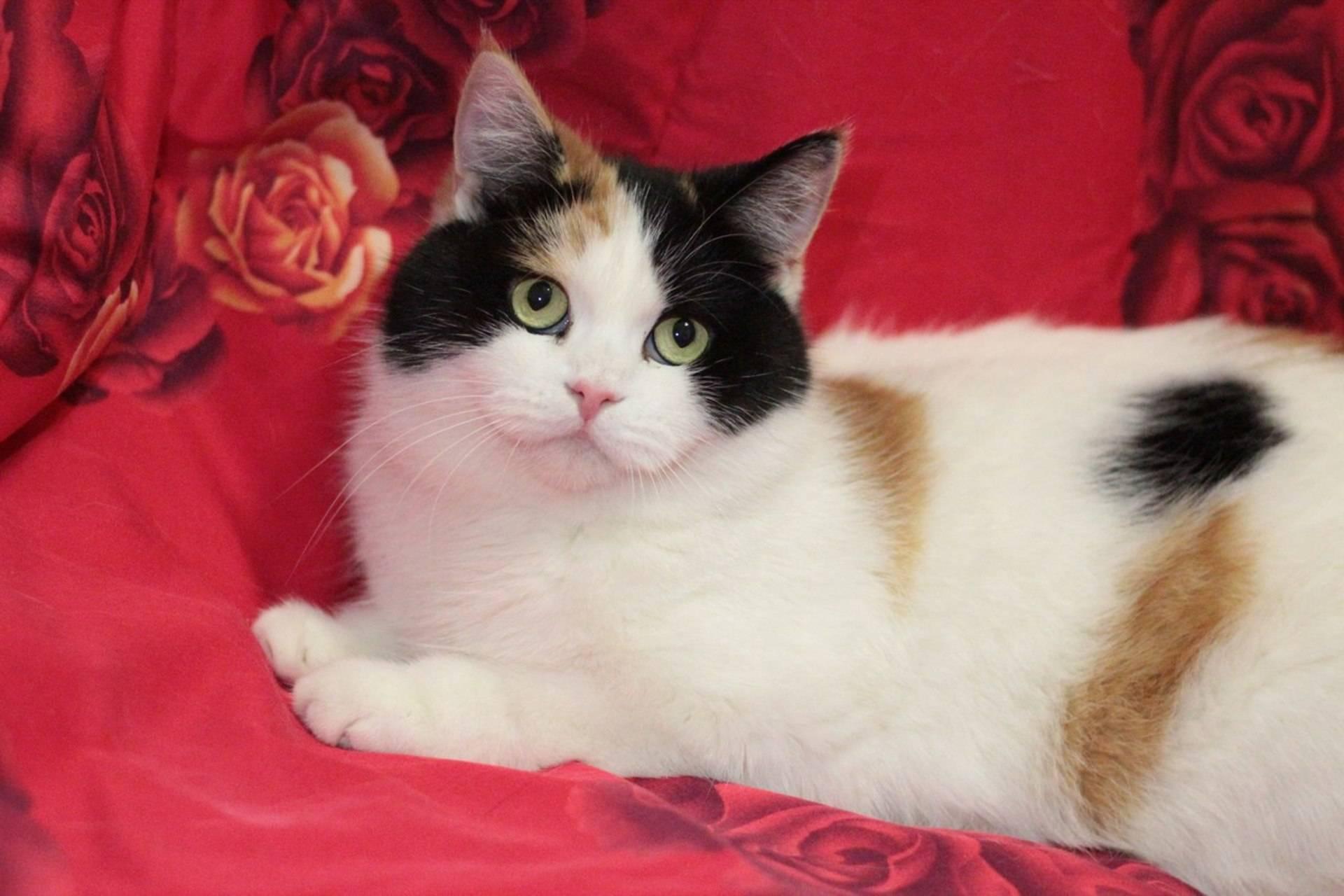 Трехцветные кошки: стандарты и особенности окраса, породы с описанием, фото