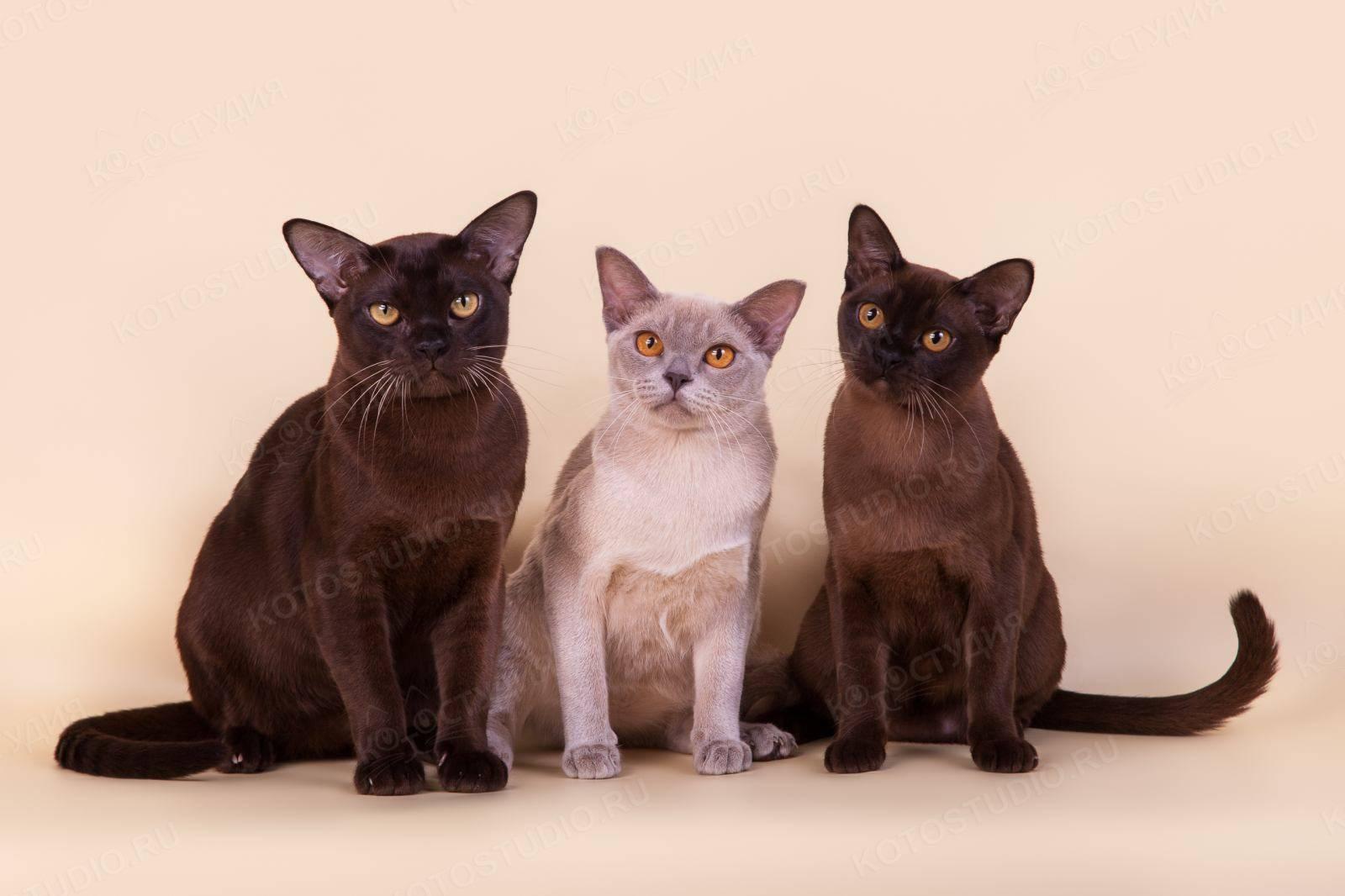Бурманская кошка - история происхождения, описание, характер и темперамент (105 фото)