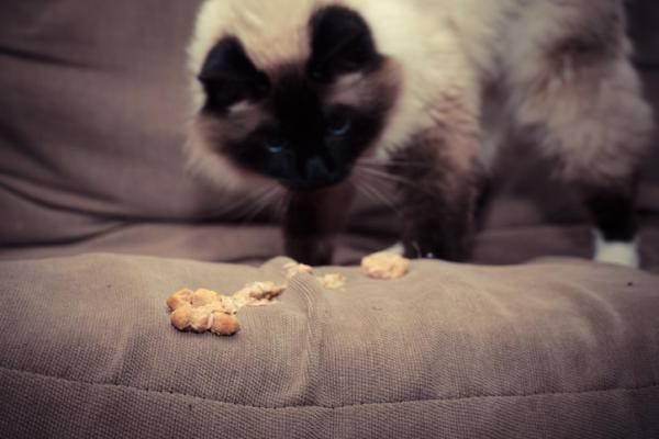 Лечение гепатолипидоза у домашних кошек