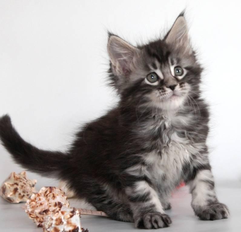 Рыжий мейн-кун: разновидности окраса и характер персиковых котов