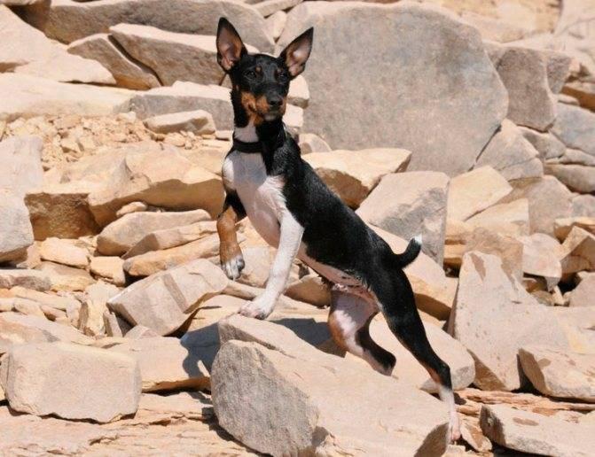Собаки, умеющие ловить крыс и мышей