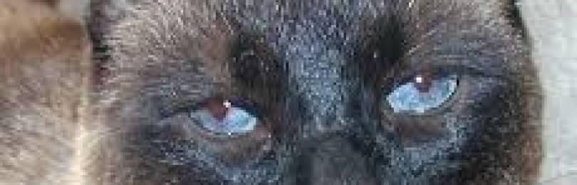 У котенка гноятся глаза: чем лечить в домашних условиях, как промыть глазки?