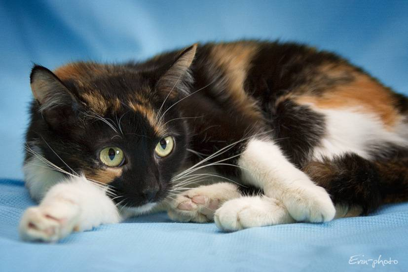 Бывают ли трехцветные коты или только кошки? и о чем говорит трехцветный окрас кошек?