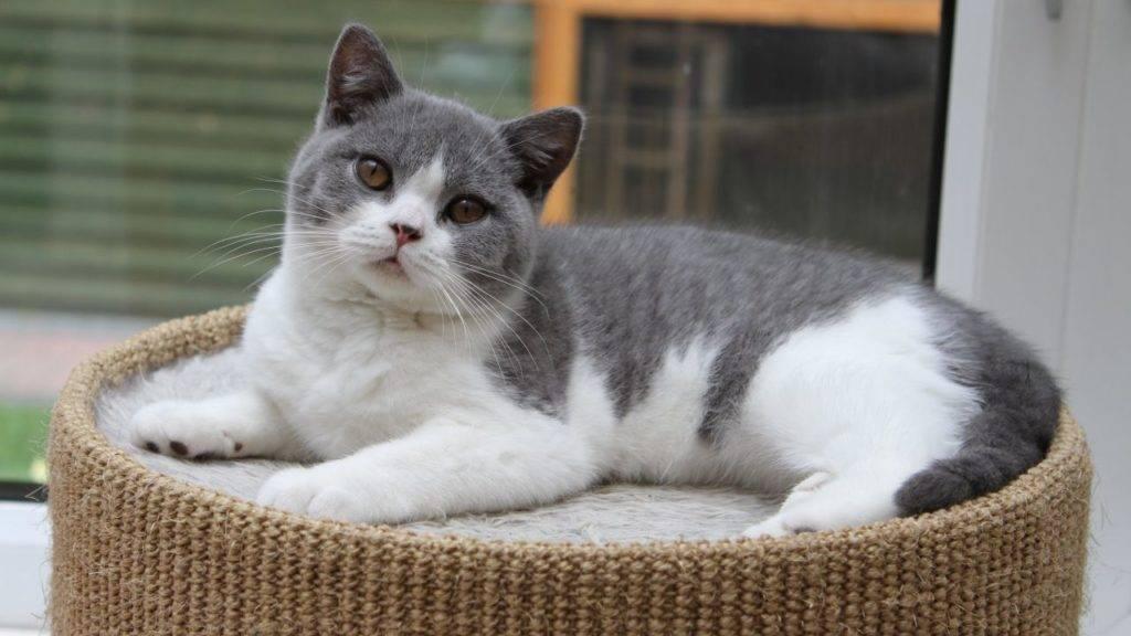Черно-белый кот с белой грудкой и лапками: породы