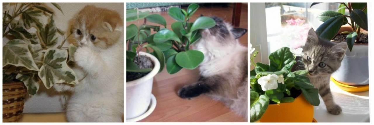 Почему кошка ест цветы домашние?