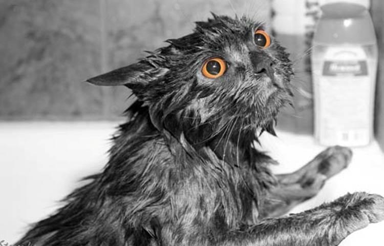 Как часто можно мыть кошек и сколько раз купать домашнюю или уличную?