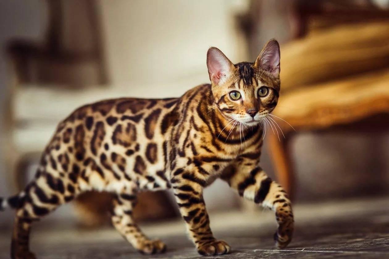 """Бенгальская домашняя кошка: фото, описание породы, цена кота """"леопарда"""""""