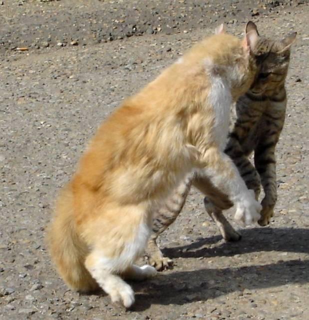 Почему коты дерутся между собой, кошки драки