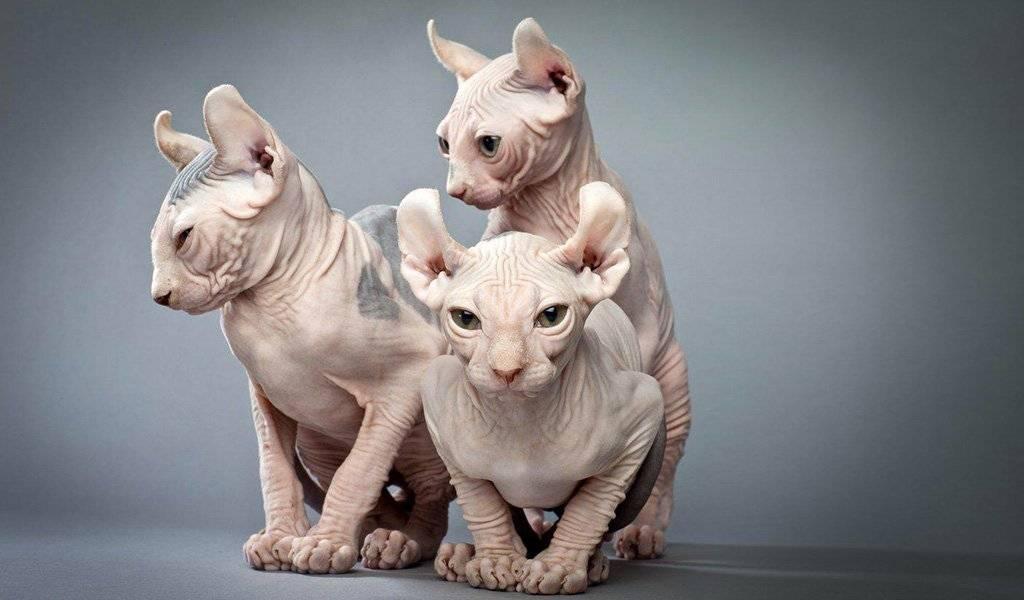 Кошка хайленд фолд: описание внешности и характера породы, уход за питомцем и его содержание, выбор котёнка, отзывы владельцев, фото кота